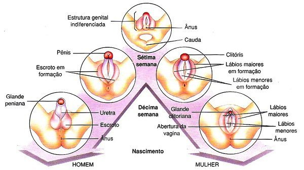 Anatomia do Clitóris em Comparação com o Pênis