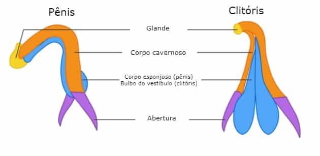 Comparação Entre Clitóris e Pênis